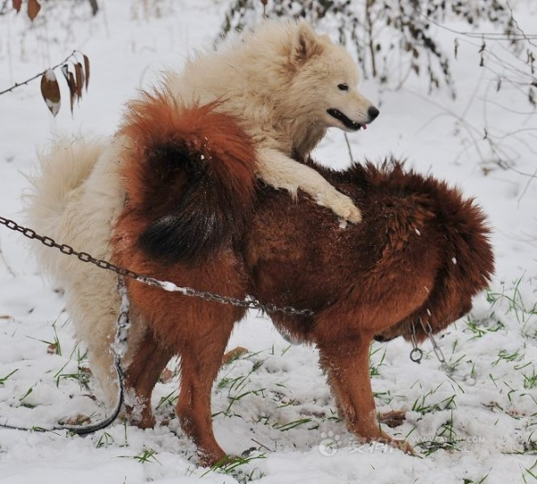 野生藏獒和狼打架_哪里有藏獒跟狼打架的画