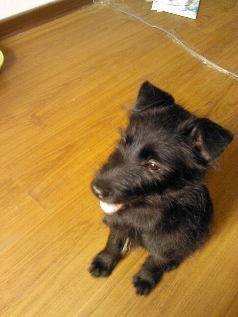 的这只小黑狗是什么品种的求解 买的时候说是小猎狗