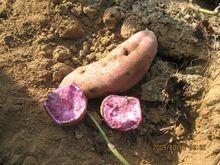 家庭紫薯怎么种植方法