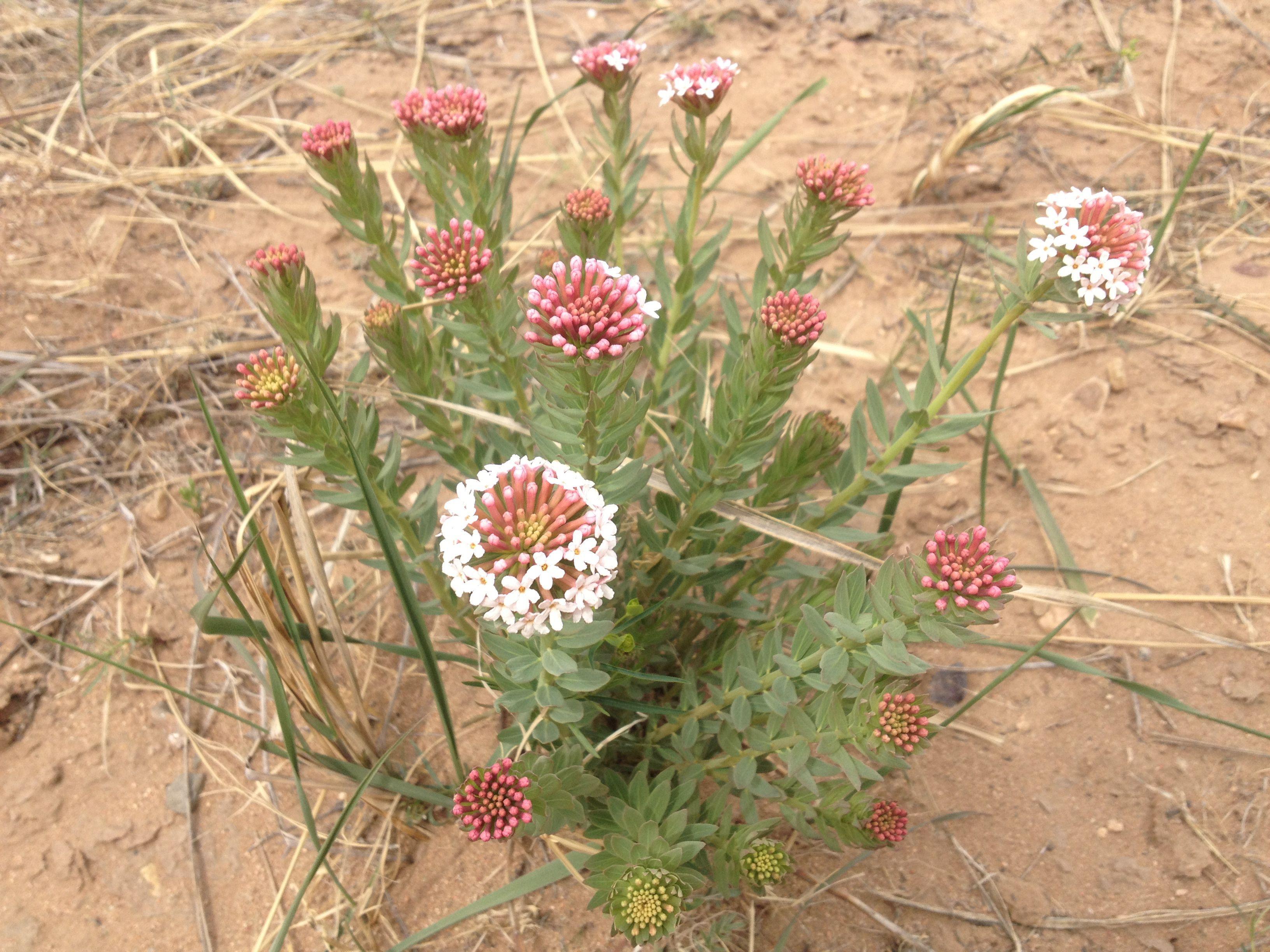 请问这种鄂尔多斯当地的花叫什么名字?图片