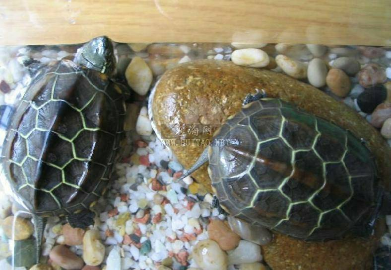 19 2006-11-06 如何养甲鱼?怎样分乌龟和甲鱼,乌龟的种类怎样分辨?