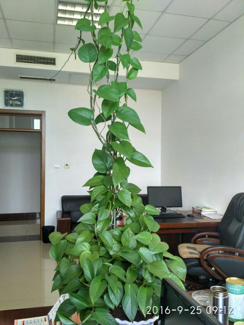 水培植物绿萝