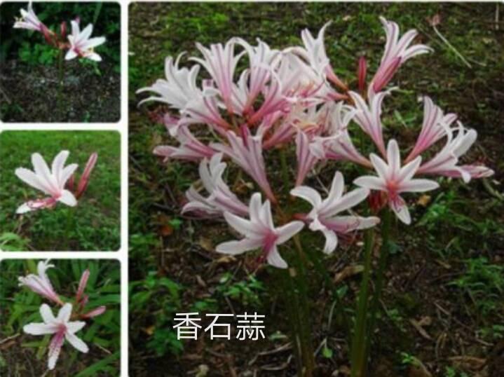 粉色花没有叶子