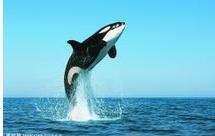鲸鱼有什么颜色