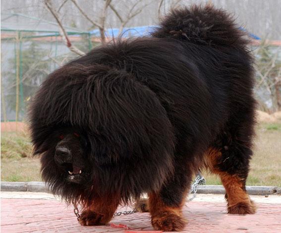 中国最大的藏獒比尔