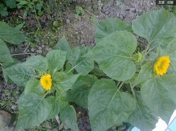 向日葵的生长环境