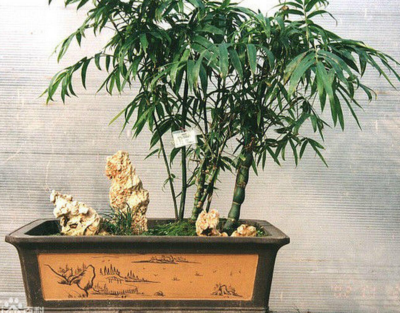 家里养的竹子有多少种