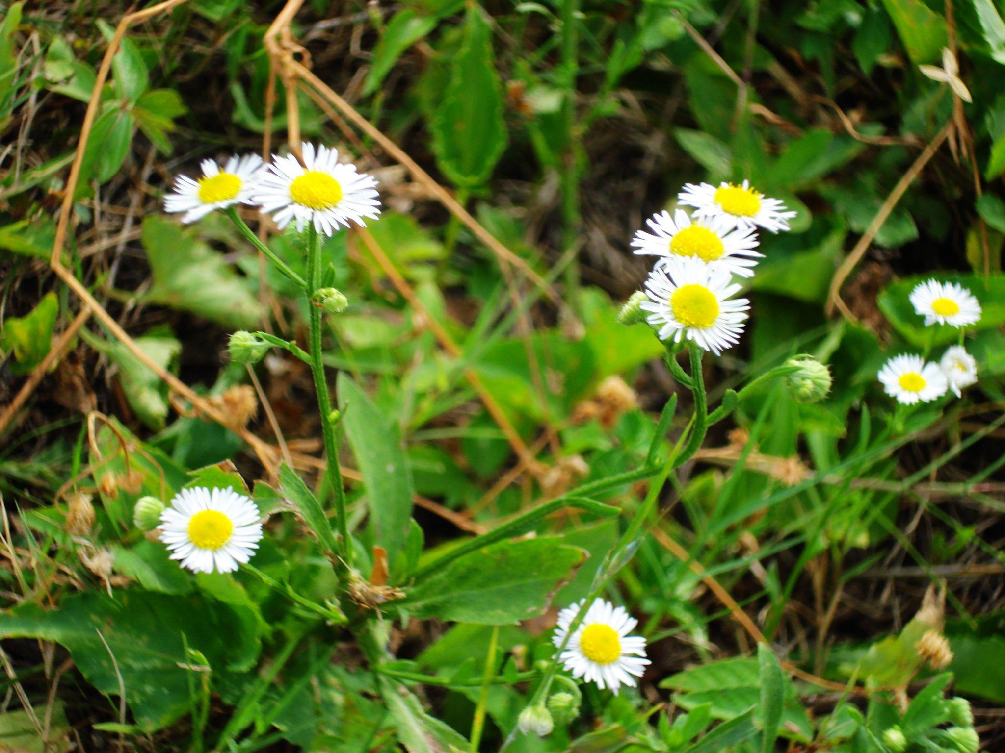 有谁知道这种白色的野花叫什么名字?