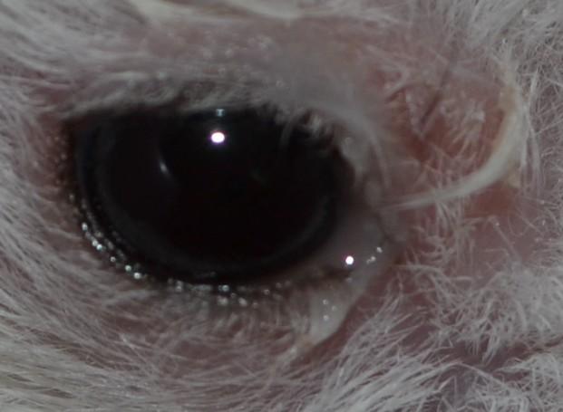 我的仓鼠一只恐龙外凸,周围掉毛,暗淡无光是不是瞎了?大型遥控器眼睛图片
