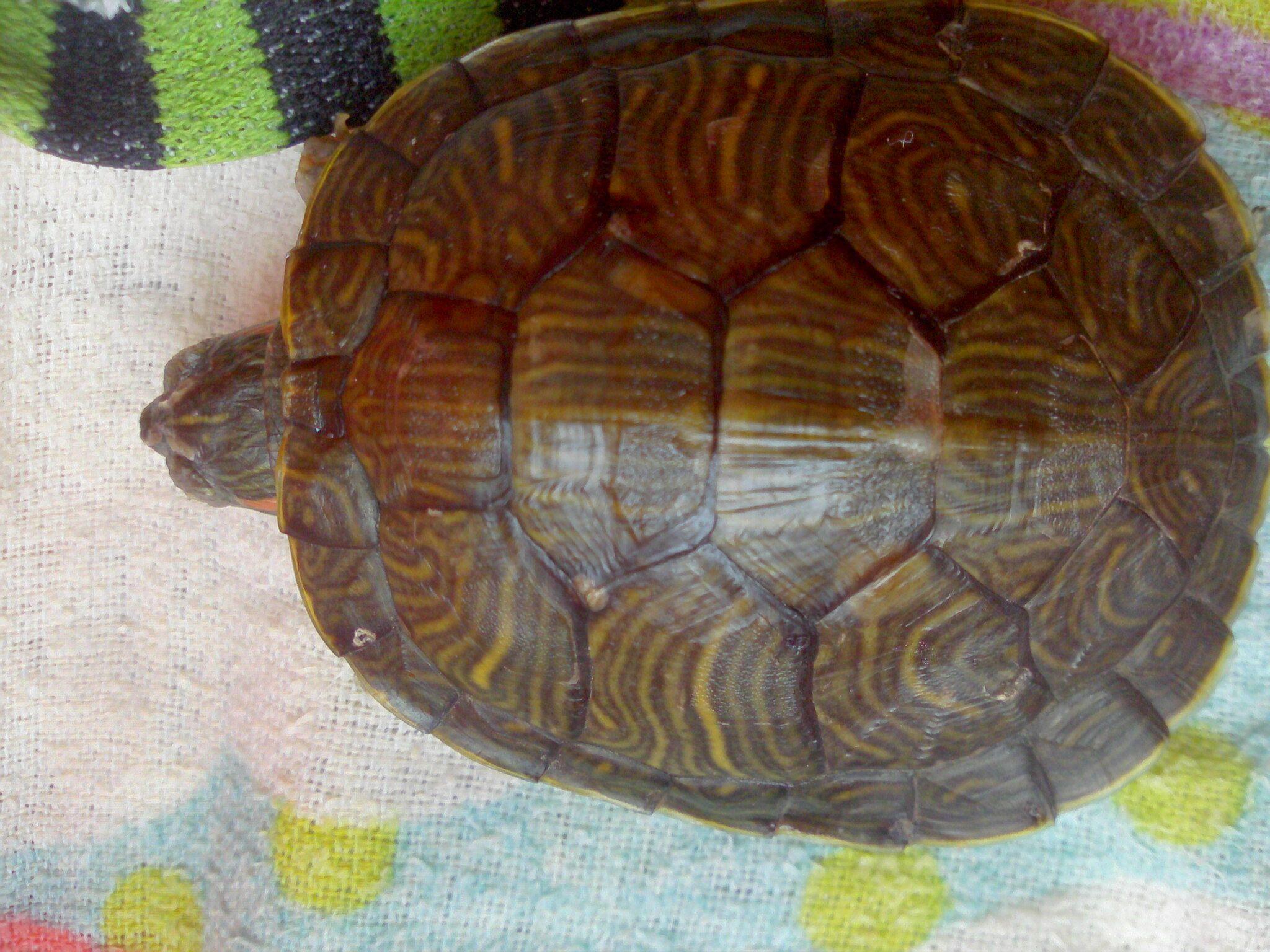 乌龟的壳,头的位置有个长尖,是什么龟
