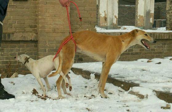 淫荡的公狗_公狗和母狗第一次交配应该注意什么?