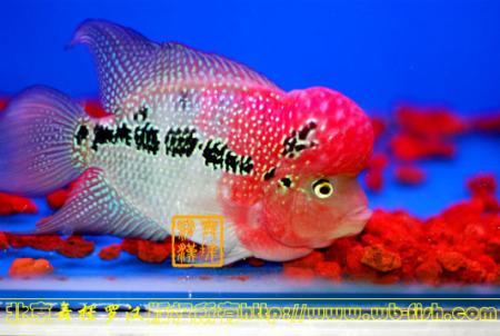 怎么分辨罗汉鱼公母图片