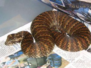 图片标签:空盆来蛇   网友吐槽:细鳞太攀蛇,俗称内陆太攀蛇,以前图片