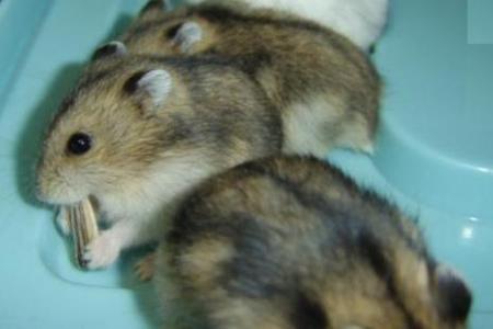 仓鼠是什么样子的