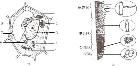 图甲是植物细胞亚显微结构模式图,图乙是小麦根尖结构图片