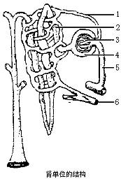 根据肾单位结构图回答:(1)肾单位由肾小体和[2]图片