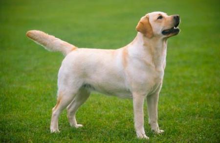 在美国犬业俱乐部中拉布拉多是目前登记数量最多的品种,对小孩尤其的图片