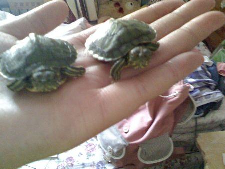 巴西龟如何冬眠