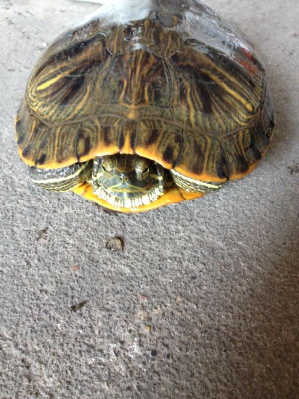 求乌龟品种鉴定