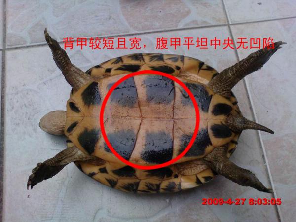 这两只乌龟 哪个是公的哪个母的 怎么辨别