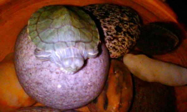 巴西有龟得了白眼病怎么办 有图