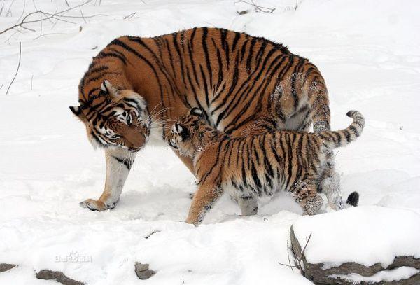 上 吃 人 的 狼 人们 赞誉 东北 虎 是 森林 的 保护 者