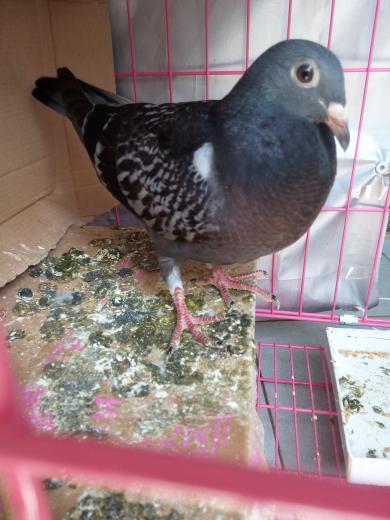 这只是公鸽子还是母鸽子,五十多天,我一伸手它就啄我图片