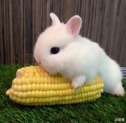 短耳短腿的兔子合肥哪有卖图片