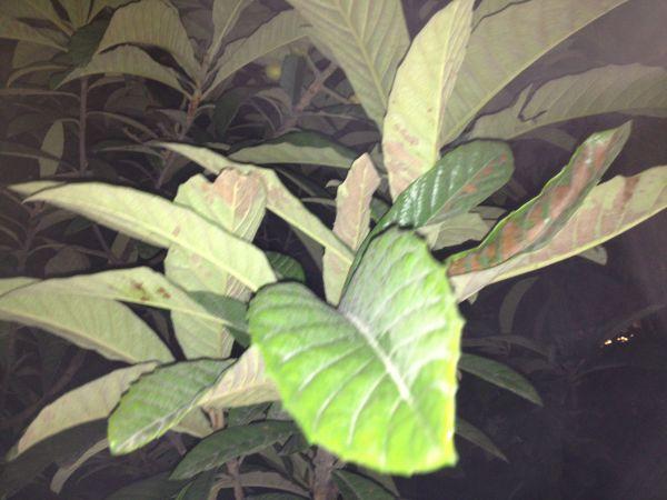 上海小区中常见植物结的山楂大小的果子,味道类似杏叶子,叶形细