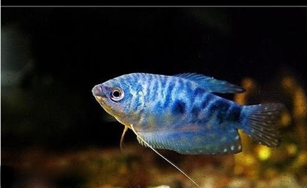 蓝曼龙鱼和虎皮鱼怎么分公母啊图片