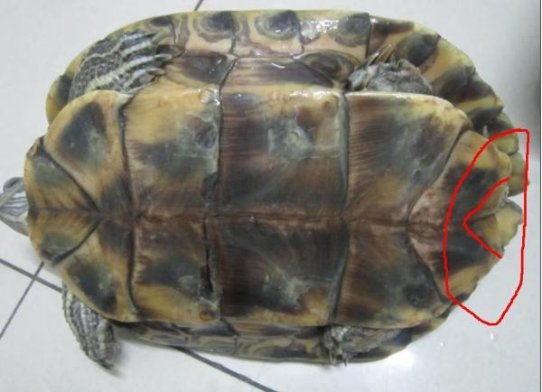乌龟怎么分 公的 母 的 还有这是什么品种呀 有图片