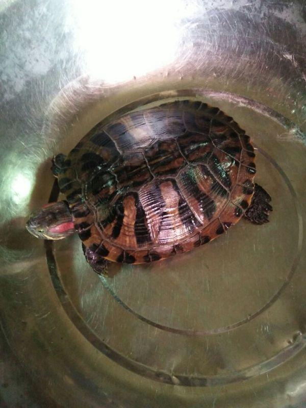 求鉴定这乌龟品种