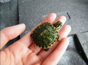 是什么龟,还有怎么分公母图片