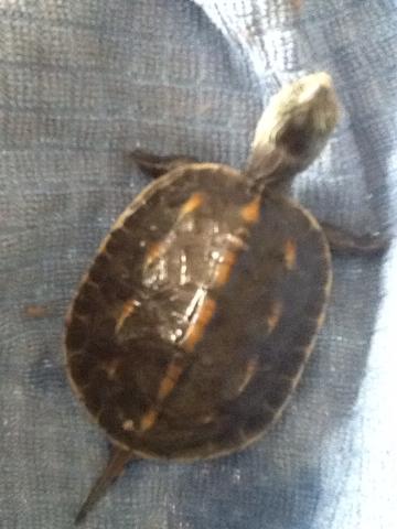 厘米的珍珠龟能冬眠么