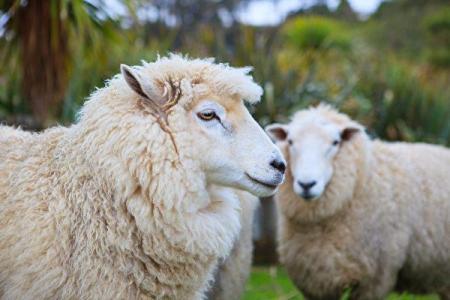 关于自然卷之谜,科学家通过研究新西兰美丽诺绵羊的毛发,似乎找到了图片